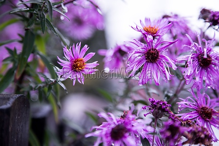 purple pink flowers banner or panorama