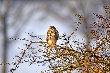 kestrel falco tinnunculus in february