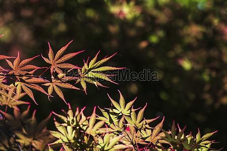 usa georgia lawrenceville japanese maple tree