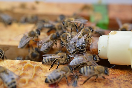 honey bee midwifes helping their queen