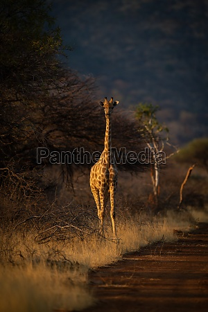 southern giraffe stands beside track at