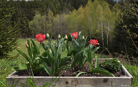 wooden flower bed with tulips in