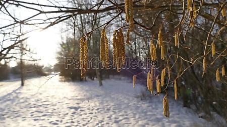 hazelnut blossom in germany in wintertime