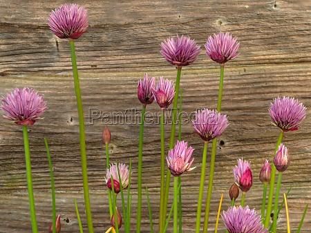 chives flowering beside a wooden garden