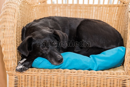 black dog sleeps on rattan armchair