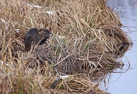 nutria myocastor coypus in the reeds
