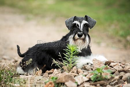 miniature schnauzer dog laying on stones