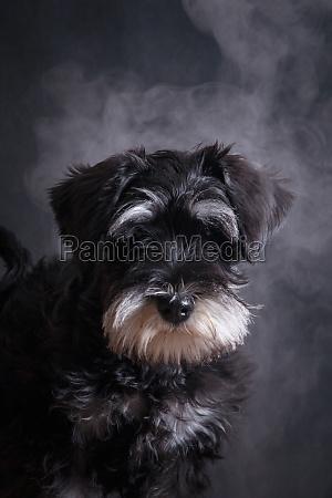 portrait of a miniature schnauzer dog
