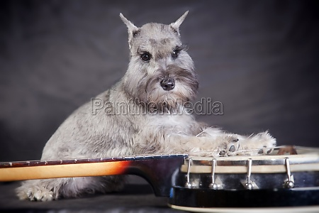 miniature schnauzer dog and banjo musical