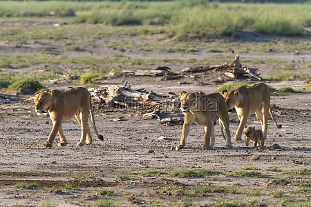 a large pride of lions in