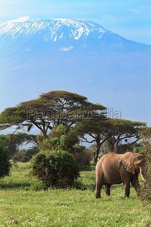 elephant and mountain kilimanjaro kenya africa
