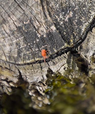 red velvet tick on the stump