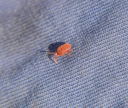 close up macro red velvet mite