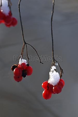 snake berry