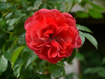 red rose blossom