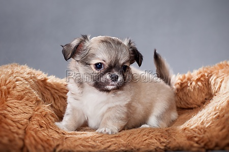 beige chihuahua puppy on a shaggy