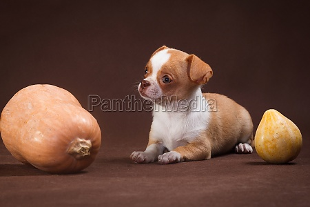 white puppy chihuahua with pumpkins