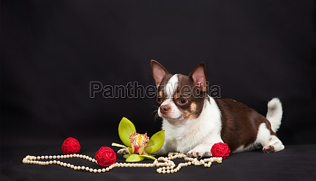 chihuahua dog with red bowls beads