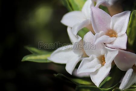 macro of delicate daphne flowers in