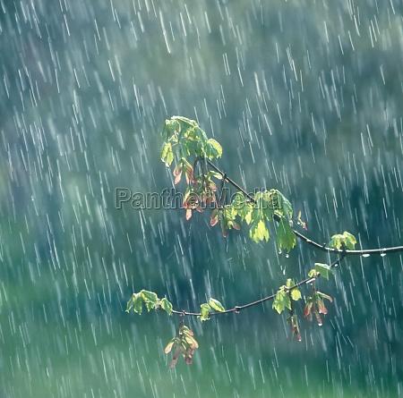 leafy branch in rain