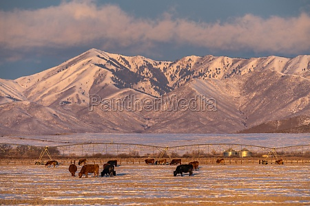 usa idaho bellevue cattle grazing on