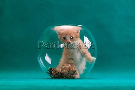 red kitten sitting upright in round