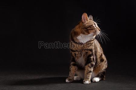 kurilian bobtail cat sittig on black