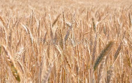 fully ripe field of rye