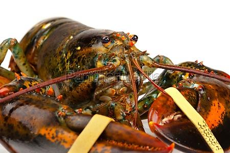 macro of living lobster
