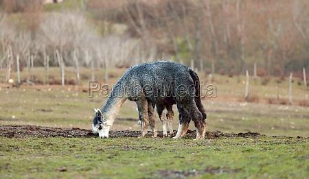 breeding of alpacas in tuscany