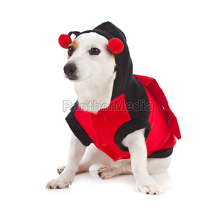 jack russell dressed up as a