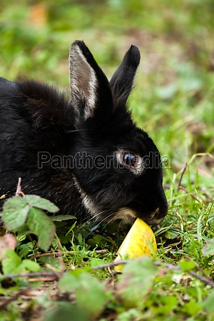 black rabbit eating an apple