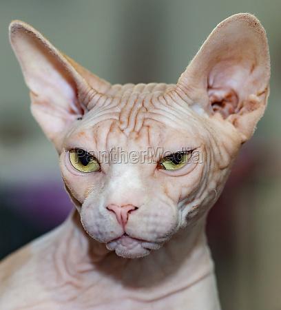 portrait of sphinx cat with yellow