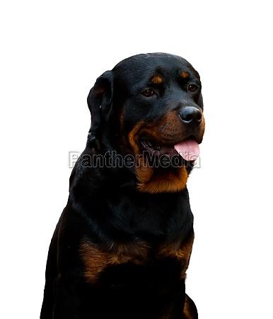 portrait rottweiler on white background