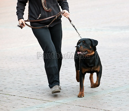 rottweiler and master walk with a