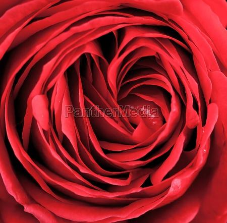 macro of red rose