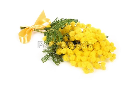twig of mimosa flowers