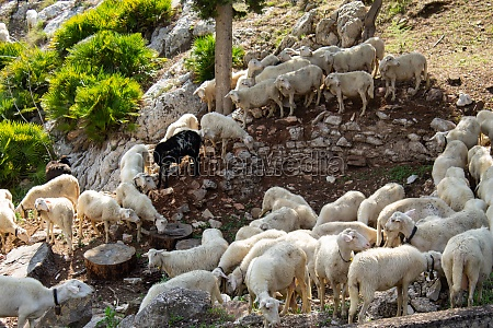 huge sheep and goat herd
