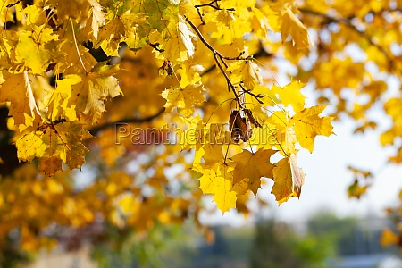 fall yellow maple leaves in the