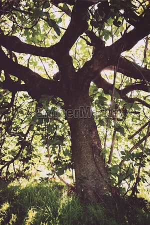 old and gloomy fig tree