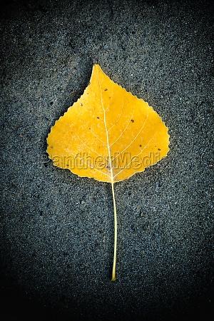 yellow leaf fallen on the asphalt
