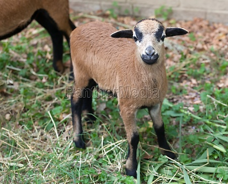 young sheep of cameroon