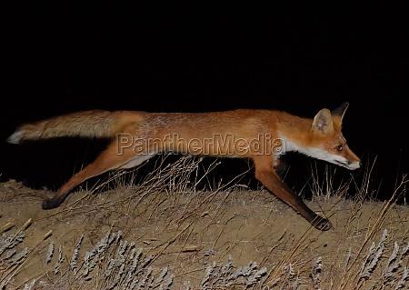 red fox a dog like animal