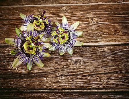 passionflower flower