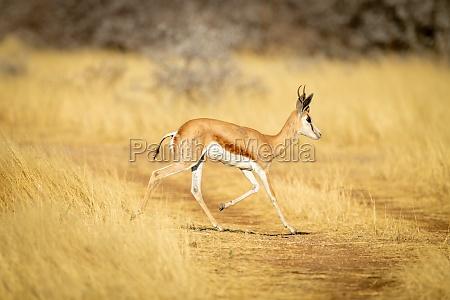 springbok runs across grassy track in