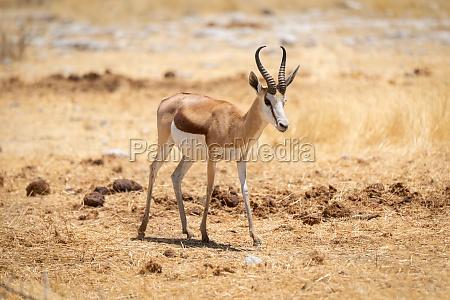 springbok stands in short grass eyeing