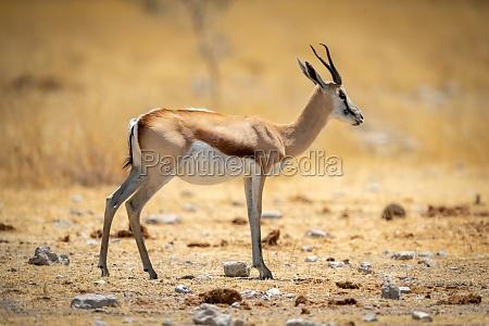 springbok stands in short grass in