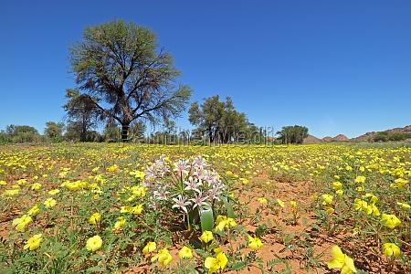 yellow wild flowers southern namibia