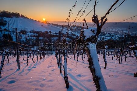 vine in vineyard in morning winter
