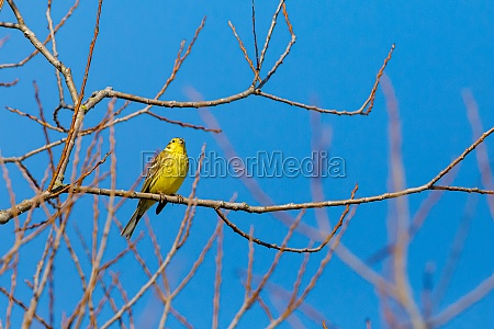 a yellowhammer on a branch in
